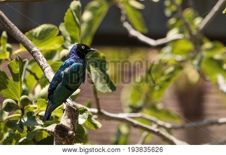 Superb starling called Lamprotornis superbus is a bird that has a golden brown chest a bright blue head black face and green tail feathers.