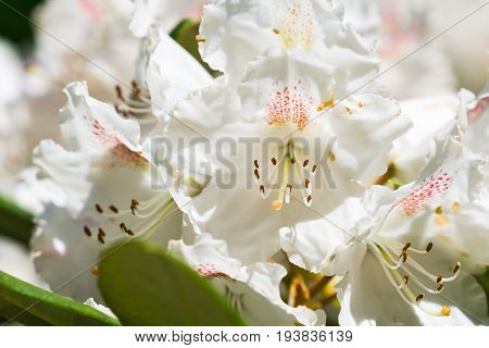 View on beautiful white Flowers in sunlight. Close-up of blooming Flowers in Summer. White Pistils. White Flowers
