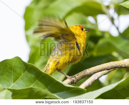 Beautiful Saffron Finch Perched On Tree Branch