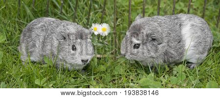 guinea pigs in the garden close up