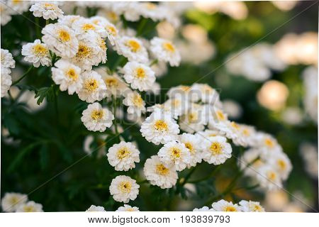 Flowering. Chamomile. Chamomile Flowers. Natural Herbal Treatment.