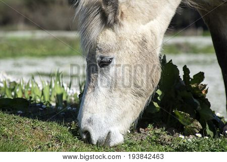 beautiful irish pony eating in a lush field of daisies