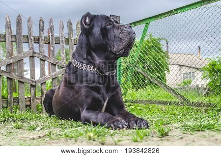 Cane Corso Sits On The Meadow, Guards The Yard