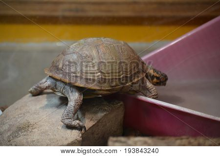 A brown box turtle in the tank