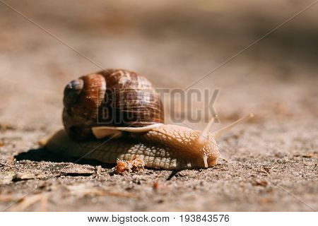 Garden Snail Gliding On Ground In Sunny Summer Day. Short Depth Of Focus