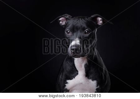 The dog is a pit bull Terrier posing in Studio on dark background