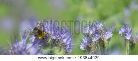 Phacelia tanacetifolia - honey plant for bees and other insect like bumble-bee