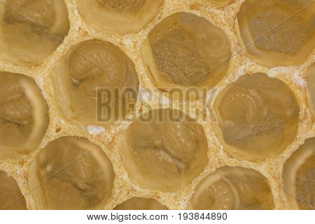 bee combs with bee eggs and young bees - drones