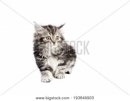Beautiful gray kitten sitting , on a white background