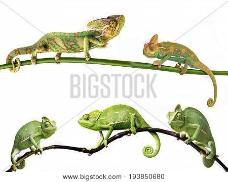 chameleon - Chamaeleo calyptratus on a branch females and males