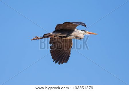 Grey heron (Ardea cinerea) in flight. Nature image with blue sky background and copy space.