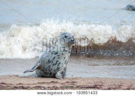 Animal camouflage. Grey seal (Halichoerus grypus) hiding with seaweed on nose. Funny animal meme image.