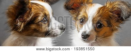 cute papillon puppy close up in detail