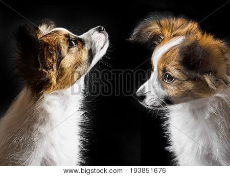 cute papillon puppy isolated over black background