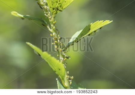 Details of Aphids on a Spirea Bush