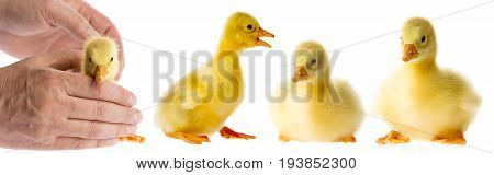 goslings close up isolated on a white