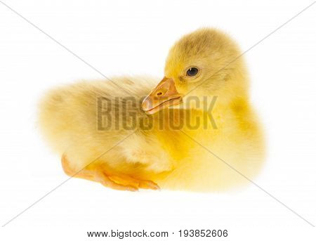 gosling close up isolated on a white