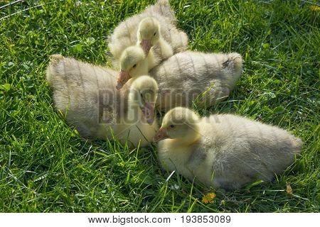 gosling ( white doose ) in grass