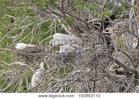 Great Egret Family on its Nest on Grotto Lake in Fergus Falls Minnesota