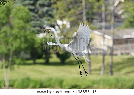 Egret Coming in for a Landing on its Nest on Grotto Lake in Fergus Falls Minnesota