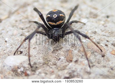 Young black widow spider female on cement