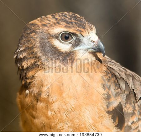A Portrait of a hawk on nature . A photo