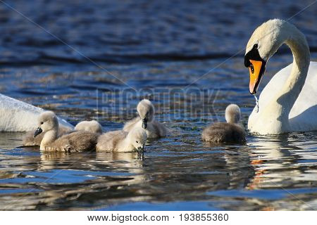 Five mute swan cygnets feeding under the protection of their parents