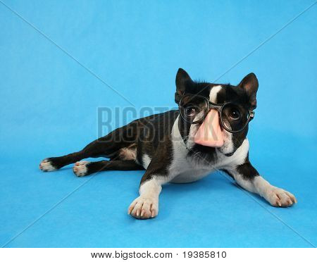 a boston terrier dressed up as groucho marx
