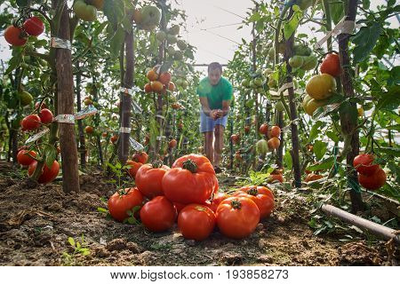Farmer Picking Tomatoes From His Garden