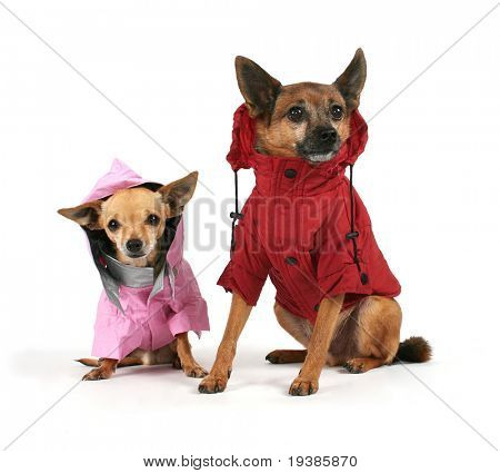 two small dogs dressed up in jackets poster