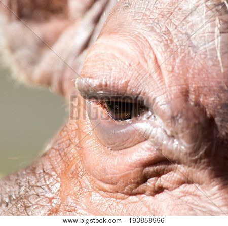 eye hippo An animal in a park on nature. A photo