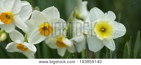 spring daffodils in the garden close up