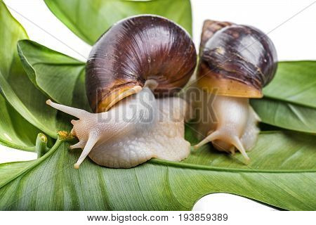 Achatina snail (Lissachatina fulica)  - pet animal