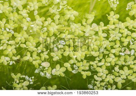lemna minor - green duckweed water plant