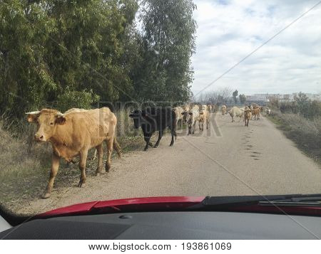 Driving slowly with animals at local road. Cows crossing. View from the inside of the car