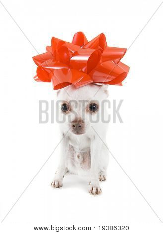 a tiny white chihuahua with a red bow on