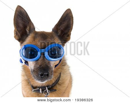 a small chihuahua mix with goggles on