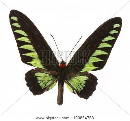 Trogonoptera brookiana - Rajah Brooke Birdwings- tropical buttelfly