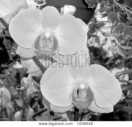 Blk White Orchids