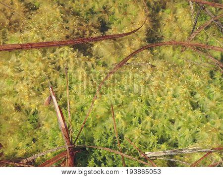 peat bog peatbog  - sphagnum moss in detail