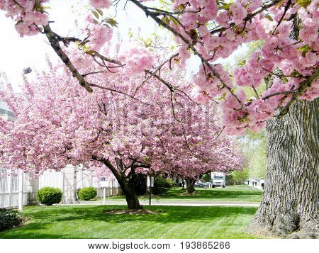 The Sakura tree on a street in Washington DC USA