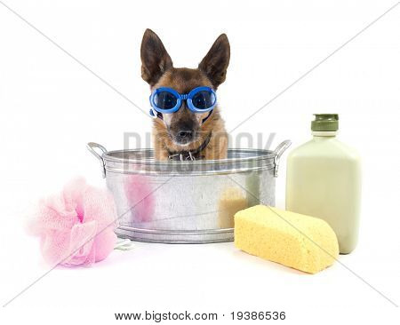 tiny chihuahua in a small metal bathtub poster
