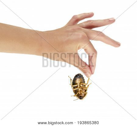 a hand holding an ugly cockroach isolated