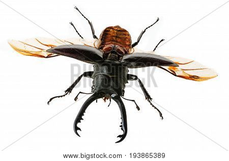 a stag beetle isolated on white background