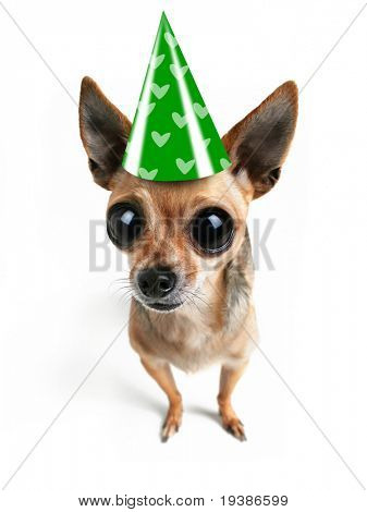 a chihuahua with big eyes and a hat