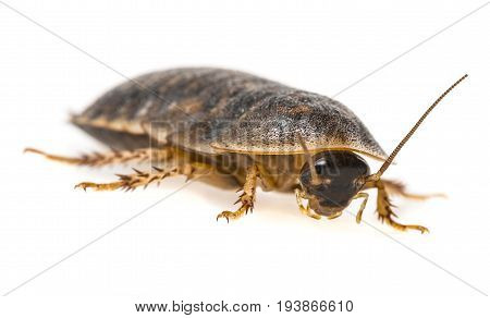 cockroach - Blaptica dubia - close up