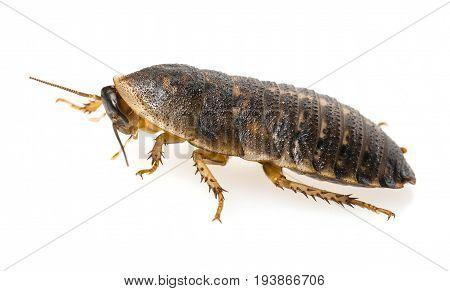cockroach - Blaptica dubia - a macro photo