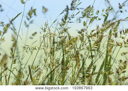 flowering grass in detail - an allergens