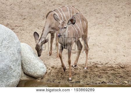 Greater kudu (Tragelaphus strepsiceros). Wildlife animal.