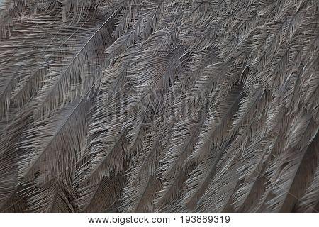Greater rhea (Rhea americana), also known as the common rhea. Plumage texture.